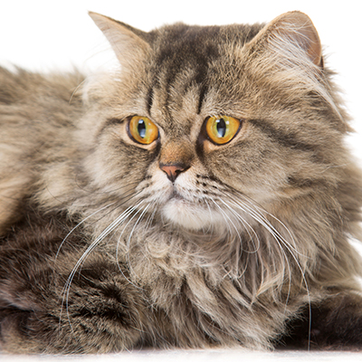 Does your indoor cat need heartwork and flea & tick protection?